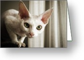 Staring Greeting Cards - Devon Rex Cat Looking At Camera Greeting Card by Troydays