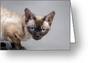 Playful Kitten Greeting Cards - Devon Rex cat Greeting Card by Waldek Dabrowski