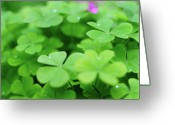Luck Greeting Cards - Dew Drops In Clover Field In Provence Greeting Card by Alexandre Fundone