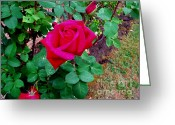 Honey Bee Greeting Cards - Dew Kissed Red  Rose Greeting Card by The Kepharts