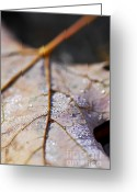 Veins Greeting Cards - Dewy leaf Greeting Card by Elena Elisseeva