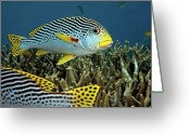 Queensland Photo Greeting Cards - Diagonal Banded Sweet Lips In Great Barrier Reef Greeting Card by James R.D. Scott