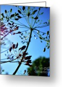 Sun Flare Greeting Cards - Dill Against Blue Greeting Card by Dianne Liukkonen