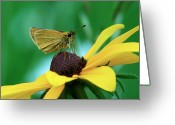 Dion Skipper Greeting Cards - Dion on a brown eyed Susan Greeting Card by Michael Peychich