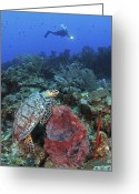 Hawksbill Turtle Greeting Cards - Diver And Hawksbill Turtle On Caribbean Greeting Card by Karen Doody