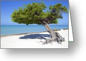 Old World Photography Greeting Cards - Divi Tree of Aruba Greeting Card by David Letts