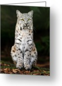 Animals Greeting Cards - Divinity Greeting Card by Big Cat Rescue