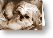 Lapdog Greeting Cards - Dixie a la sepia Greeting Card by Dan Stone
