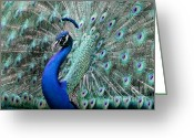 Peacock Greeting Cards - Do you Like Me Now Greeting Card by Sabrina L Ryan