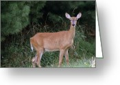 Fawns Greeting Cards - Doe in Late Summer Greeting Card by Tam Graff