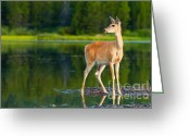 Fawns Greeting Cards - Doe Greeting Card by Sebastian Musial