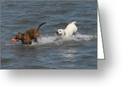 Retriever Prints Photo Greeting Cards - Dog 105 Greeting Card by Joyce StJames
