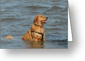 Retriever Prints Photo Greeting Cards - Dog 106 Greeting Card by Joyce StJames
