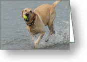 Retriever Prints Photo Greeting Cards - Dog 111 Greeting Card by Joyce StJames