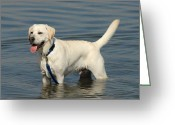 Retriever Prints Photo Greeting Cards - Dog 121 Greeting Card by Joyce StJames
