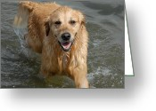 Retriever Prints Photo Greeting Cards - Dog 127 Greeting Card by Joyce StJames