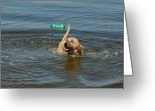 Retriever Prints Photo Greeting Cards - Dog 27 Greeting Card by Joyce StJames