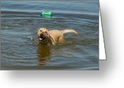 Retriever Prints Photo Greeting Cards - Dog 29 Greeting Card by Joyce StJames