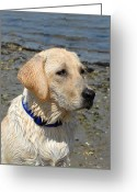 Retriever Prints Photo Greeting Cards - Dog 75 Greeting Card by Joyce StJames