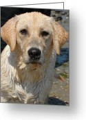 Retriever Prints Photo Greeting Cards - Dog 77 Greeting Card by Joyce StJames
