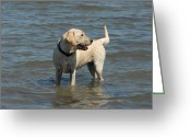 Retriever Prints Photo Greeting Cards - Dog 78 Greeting Card by Joyce StJames