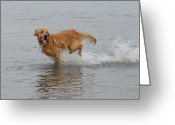 Retriever Prints Photo Greeting Cards - Dog 81 Greeting Card by Joyce StJames