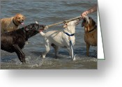 Retriever Prints Photo Greeting Cards - Dog 85 Greeting Card by Joyce StJames