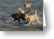 Retriever Prints Photo Greeting Cards - Dog 86 Greeting Card by Joyce StJames