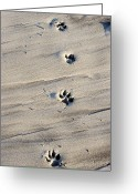 Dog Prints Photo Greeting Cards - Dog Tracks In The Sand At Carmel Beach Greeting Card by Charles Kogod
