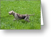 Prowling Greeting Cards - Dog Walking In Meadow Greeting Card by Stock4b-rf