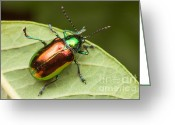 Beetles Greeting Cards - Dogbane Beetle Greeting Card by Clarence Holmes