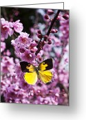Pink Flower Branch Greeting Cards - Dogface butterfly in plum tree Greeting Card by Garry Gay