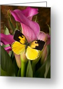Small  Greeting Cards - Dogface butterfly on pink calla lily  Greeting Card by Garry Gay