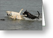 Retriever Prints Photo Greeting Cards - Dogs 100 Greeting Card by Joyce StJames