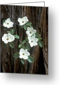 Redwood Greeting Cards - Dogwood and Redwod Greeting Card by Joe  Palermo