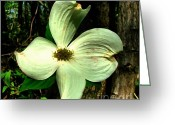 Dogwood Blossom Greeting Cards - Dogwood Blossom I Greeting Card by Julie Dant