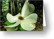 Indiana Flowers Greeting Cards - Dogwood Blossom II Greeting Card by Julie Dant
