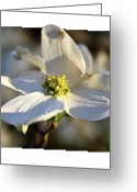 Dogwood Blossom Greeting Cards - Dogwood Blossom Greeting Card by John Lautermilch
