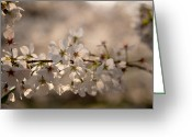 Dogwood Blossom Greeting Cards - Dogwood Blossoms Greeting Card by Christopher McPhail