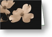 Dogwood Blossom Greeting Cards - Dogwood Blossoms Sepia Greeting Card by Kristin Elmquist