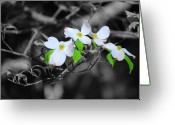 Fragrant Flowers Greeting Cards - Dogwood Flowers Greeting Card by Jai Johnson