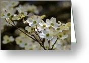 Dogwood Lake Greeting Cards - Dogwood in the sun Greeting Card by LeeAnn McLaneGoetz McLaneGoetzStudioLLCcom