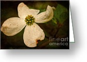 Dogwood Blossom Greeting Cards - Dogwood Greeting Card by Lois Bryan