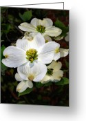 Flower Blossom Greeting Cards - Dogwood Greeting Card by Skip Willits
