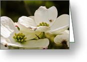 Dogwood Lake Greeting Cards - Dogwood Spider Greeting Card by LeeAnn McLaneGoetz McLaneGoetzStudioLLCcom