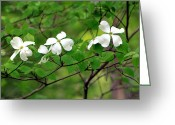 Green And White Greeting Cards - Dogwoods Greeting Card by Deborah  Crew-Johnson