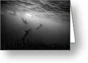 Dolphin Greeting Cards - Dolphins Re-grouping Afterorchestrated Attack Greeting Card by Paul Cowell Photography