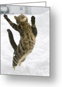 Jumping Greeting Cards - Domestic Cat Felis Catus Male Leaping Greeting Card by Konrad Wothe