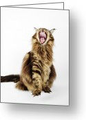 Coon Greeting Cards - Domestic Main Coon Cat Against White Background. Greeting Card by Martin Harvey