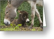 Burro Greeting Cards - Donkey Equus Asinus Adult With Foal Greeting Card by Konrad Wothe